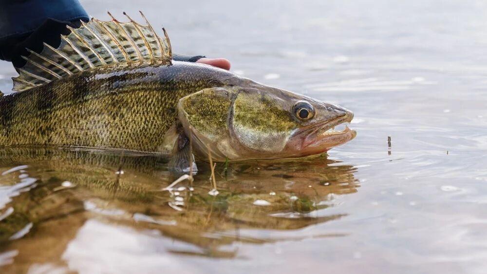 Do-Walleye-Have-Teeth-3-myfishingskill